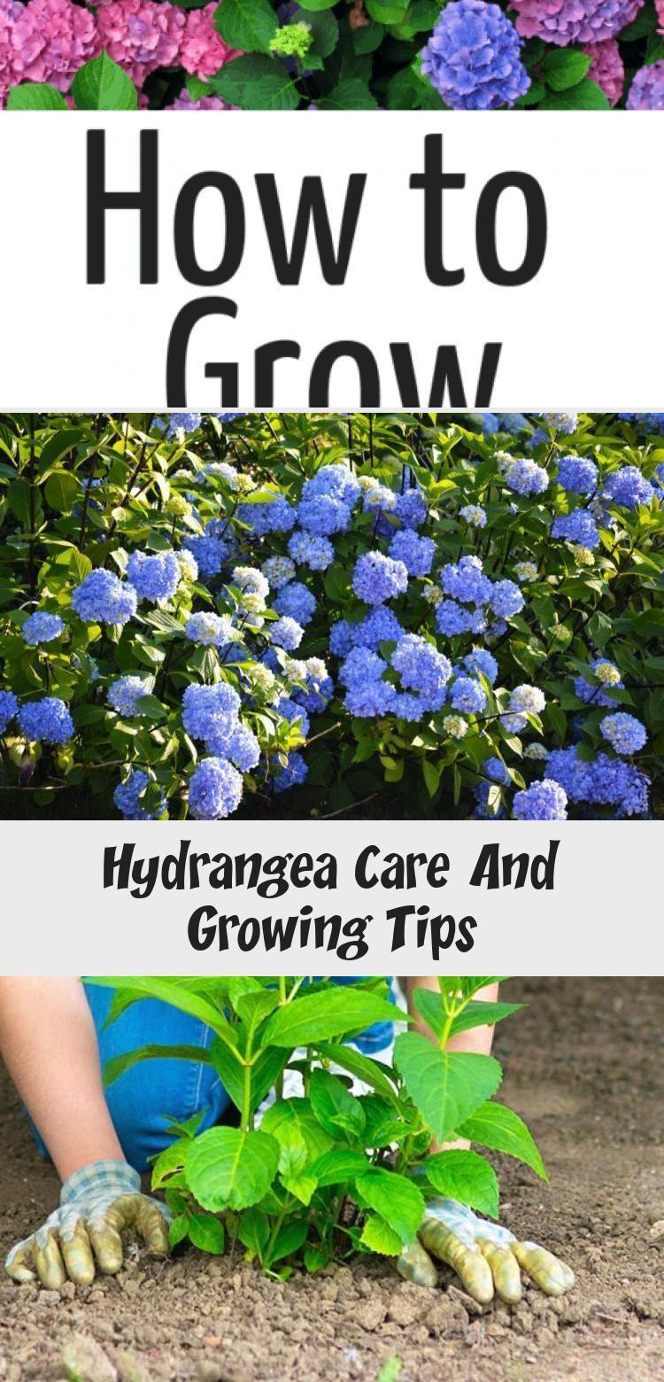 hydrangea garden care #gardencare hydrangea garden care #garden #gardencare If you are wonder how to grow hydrangeas and the best hydrangea care tips this i...#care #grow #hydrangea #hydrangeas #tips #wonder