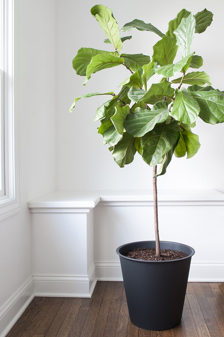 How To Repot A Fiddle Leaf Fig Tree Fiddle Leaf Fig