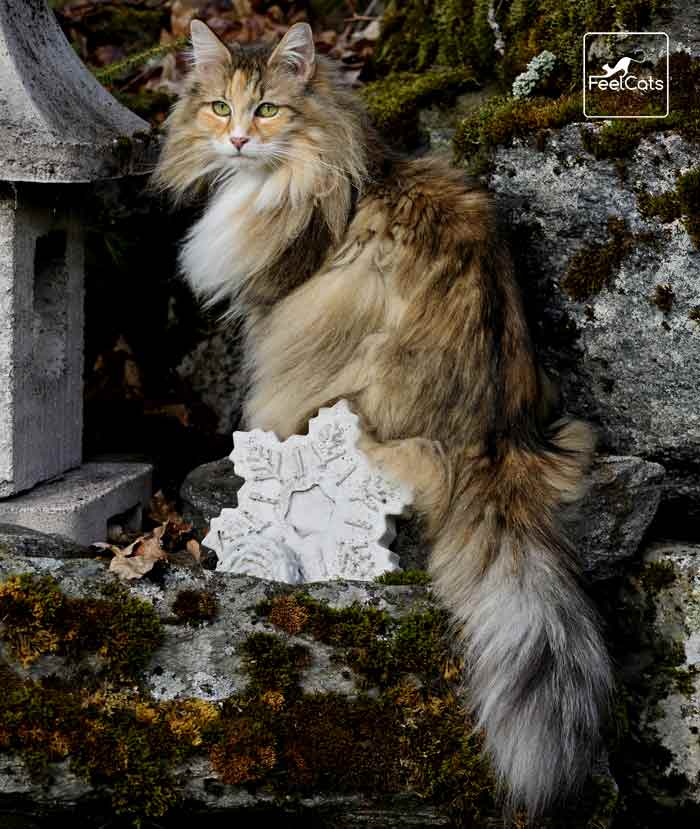 Bosque De Noruega Carácter Tamaño Origen Curiosidades Feelcats Bosque De Noruega Gato Bosques De Noruega Gato Bosque De Noruega