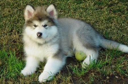 An Alaskan Malamute Is Going To Be My Future Dog Malamute