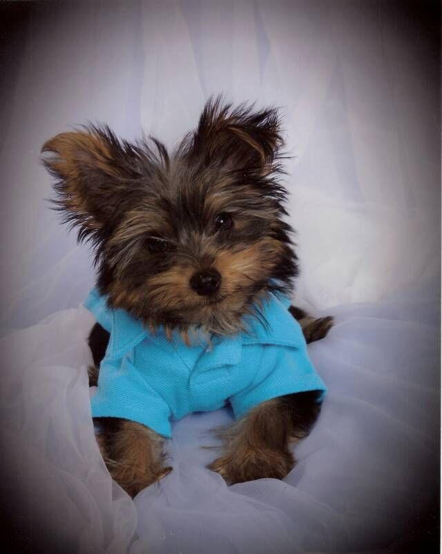 Teacup Yorkie Puppies for Sale (With images) Yorkie puppy