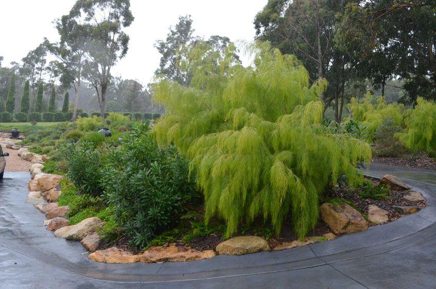 Image Result For Acacia Iteaphylla Julia Morgan Sunny Side
