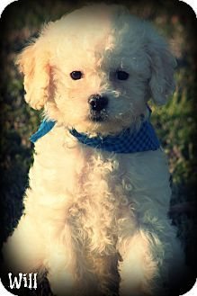 Cranford Nj Shih Tzu Poodle Miniature Mix Meet Will A Puppy For Adoption Shih Tzu Shih Tzu Poodle Pet Adoption