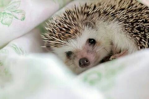 cuddly-looking little baby hedge