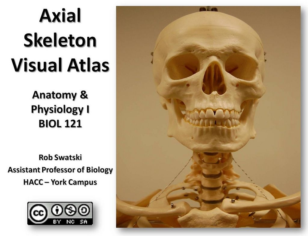 Axial Skeleton Visual Guide | Axial skeleton