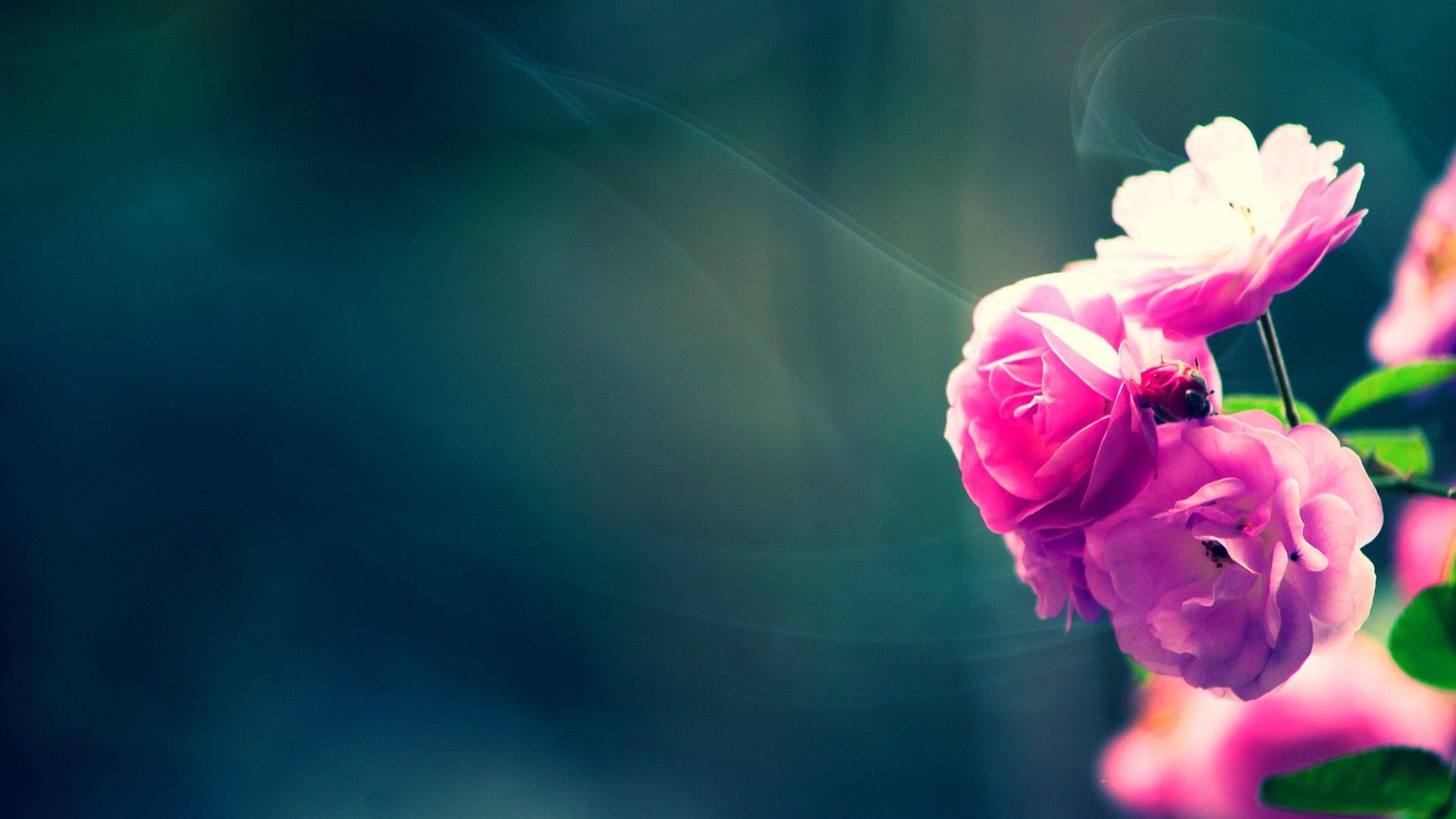 Pink Fresh Flower Hd 1080p Wallpapers Download Flower Background Wallpaper Flower Backgrounds Flower Wallpaper