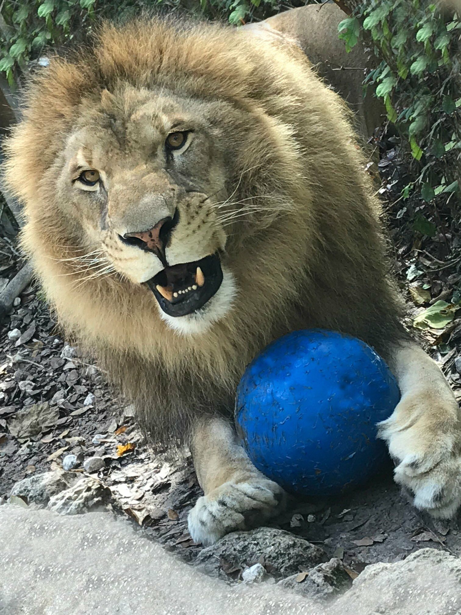 Leo The Lion Cool Pets Interesting Animals Cute Animals