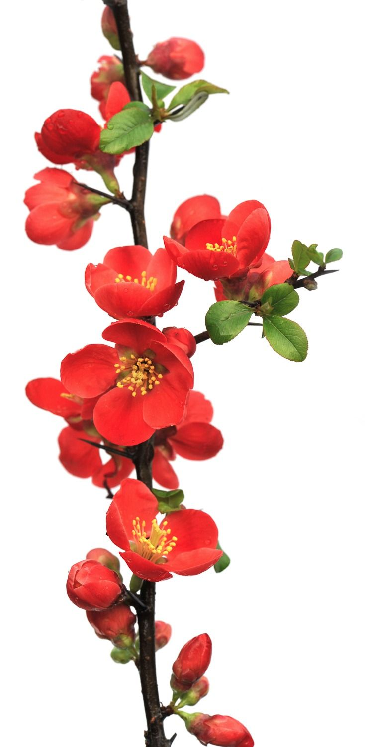 Quince Branches. COLORS: Pink, red and white SEASON: Spring SCENT ...