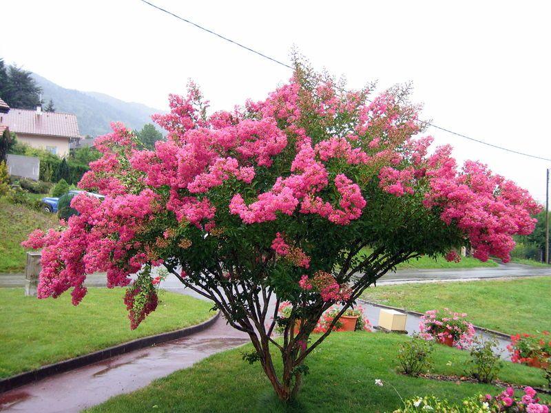 Arbre ornement fleurs - Le lilas des indes ...