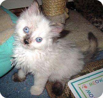 Siamese Kitten For Adoption In Cleveland Ohio Godiva