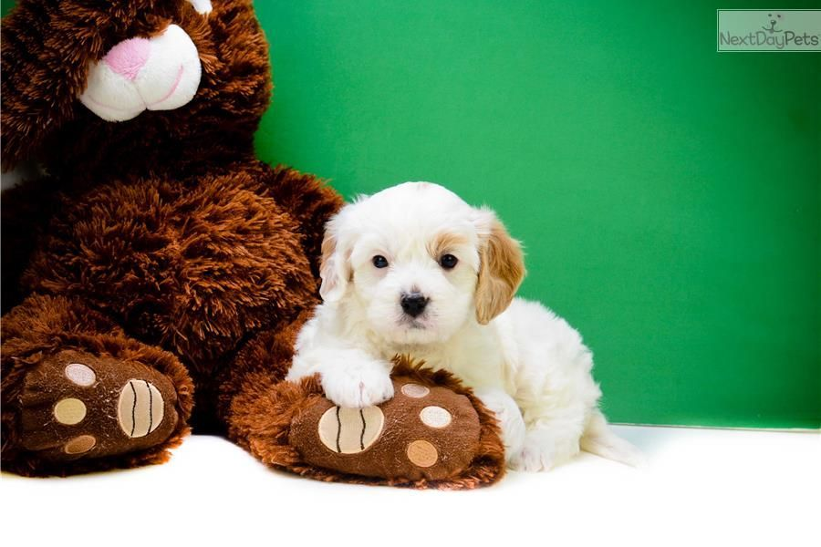 Gwenith, Cavapoo puppy for sale