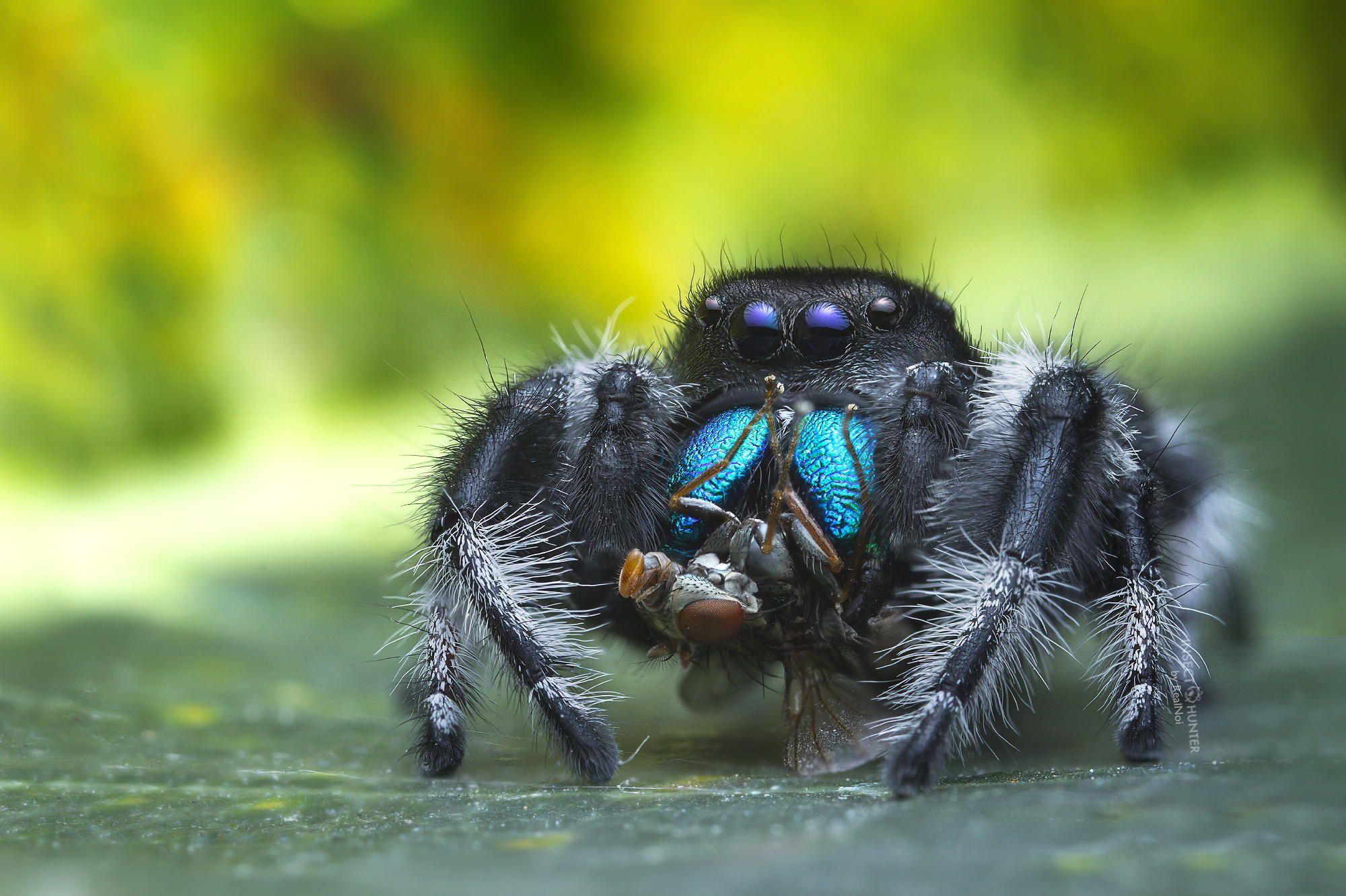 Phidippus Regius while eating fly
