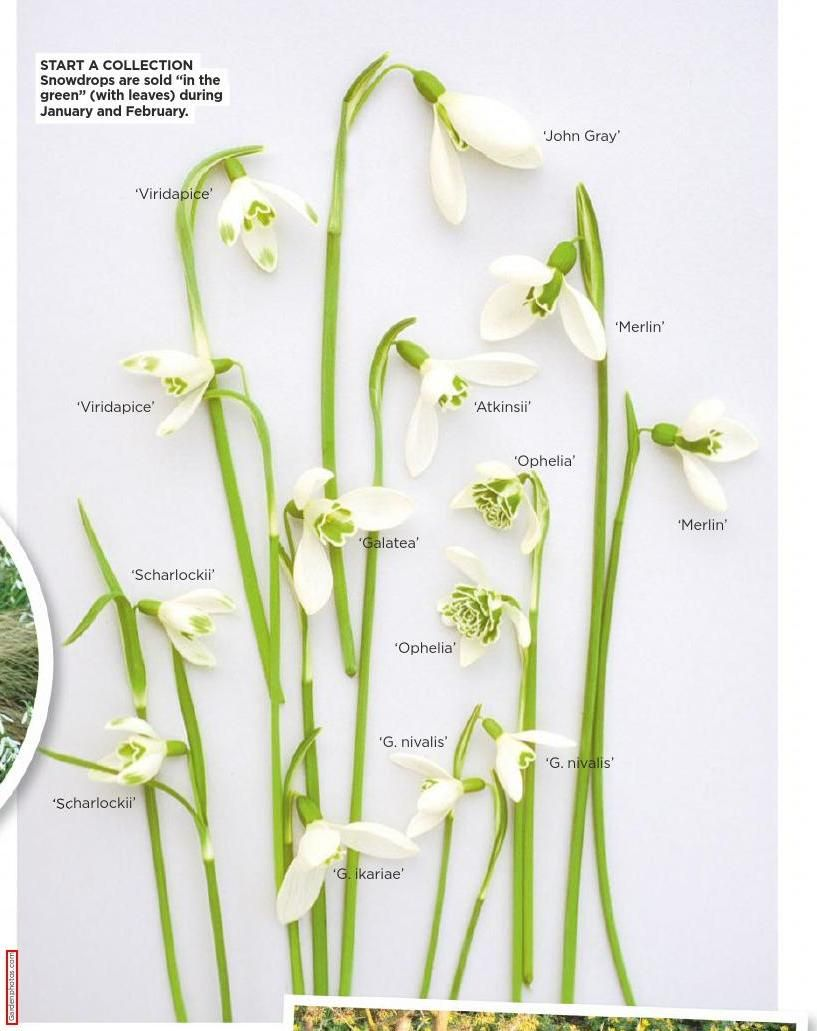 Amateurgardening20150124 Clippedonissuu First Flowers Of Spring Spring Bulbs Pressed Flowers