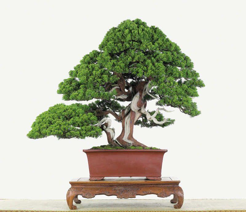 Juniperus Chinensis By Chen Kun Shen Bonsai Bonsai Tree