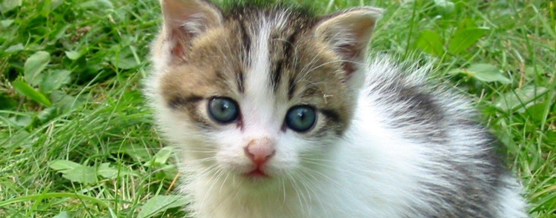 Kissanpennun Luovutusikä