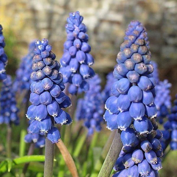 50 blue violet purple grape hyacinth muscari armeniacum spring 50 blue violet purple grape hyacinth muscari armeniacum spring flower seeds heirloom mightylinksfo