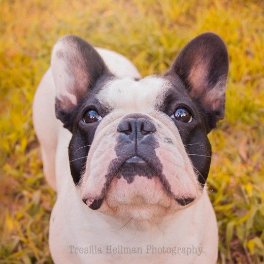 French Bulldog Training Care Health Issues To Consider When Buying A Puppy Bulldog Puppy Training French Bulldog Bulldog