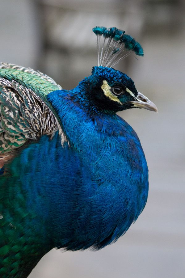 Peacock, one of the most beautiful birds!