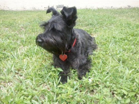Meet Lili Tufel Schnauzer Mix Scottish Terrier Terrier