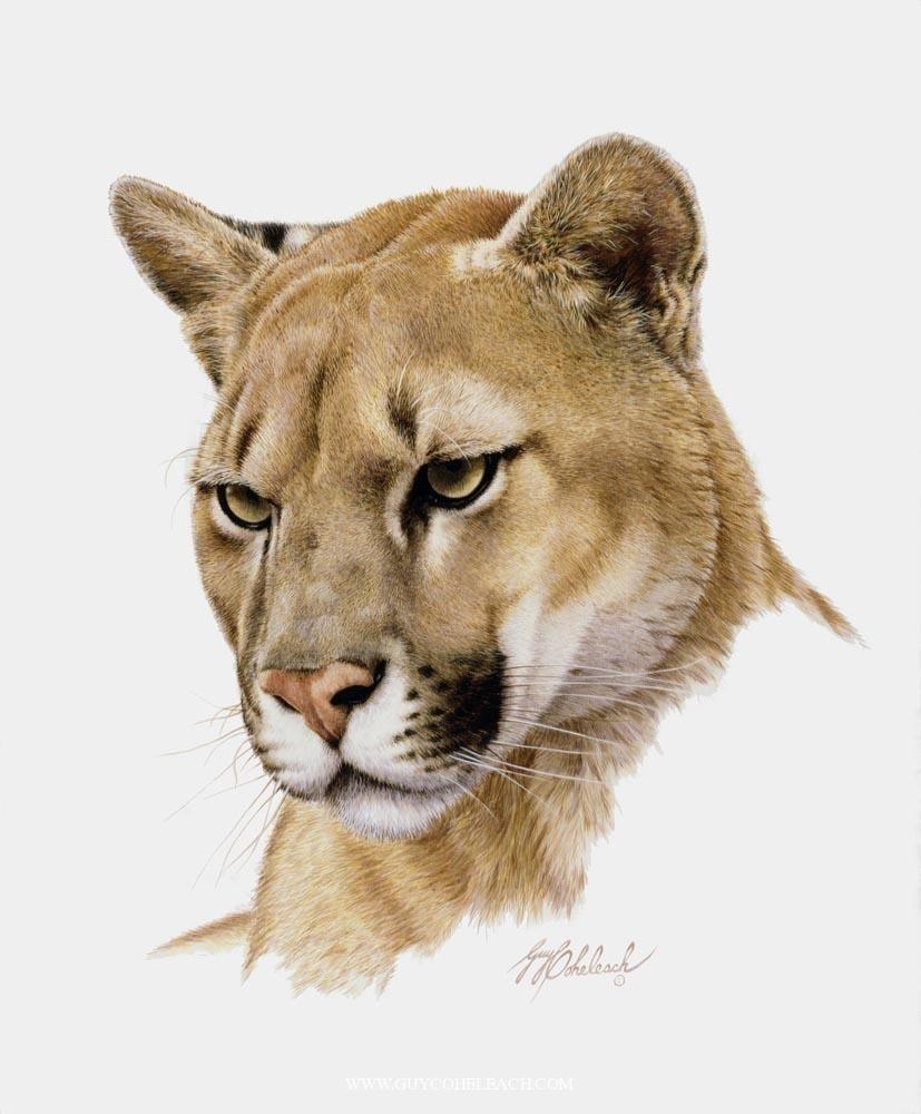 Portraits Of Big Cats 5 Animales Dibujados Lapiz Puma Dibujo And