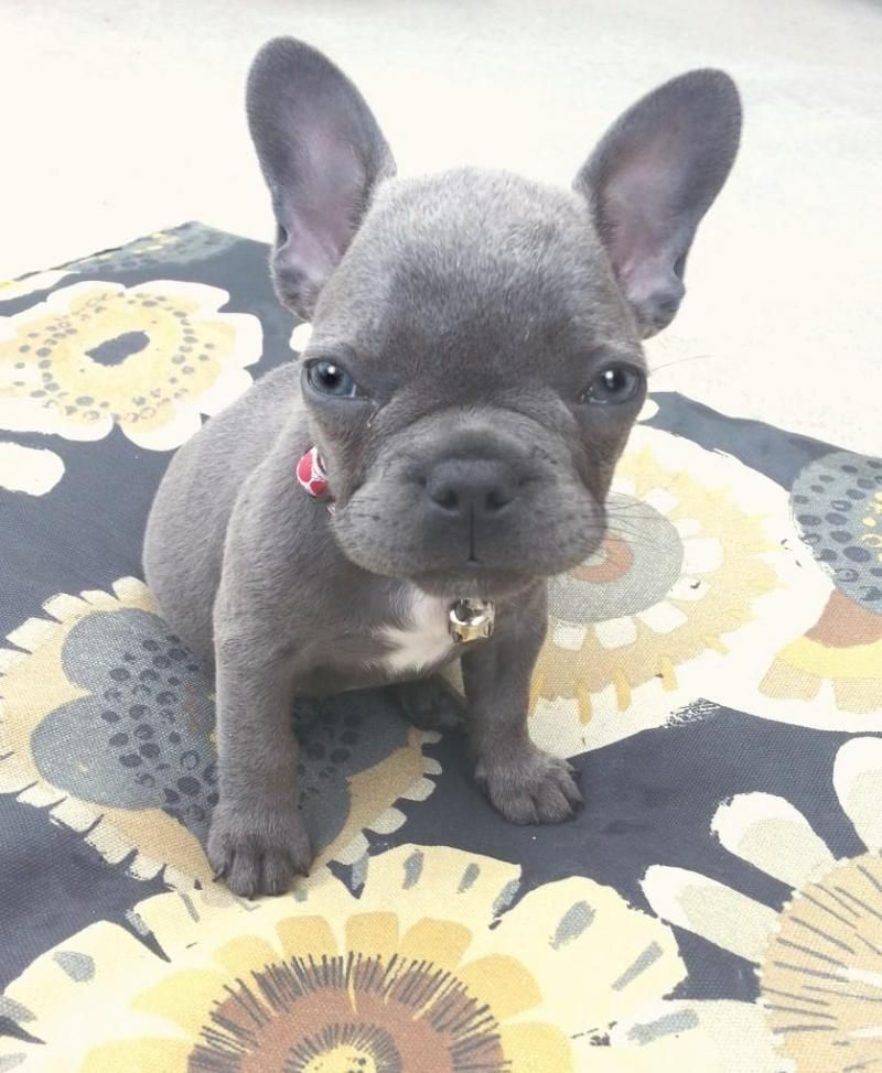 Adopt Donations Needed On French Bulldog Pet Adoption Pets