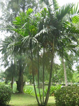 Macarthur Palm Palmier Multipliant Bamboo Ptychosperma