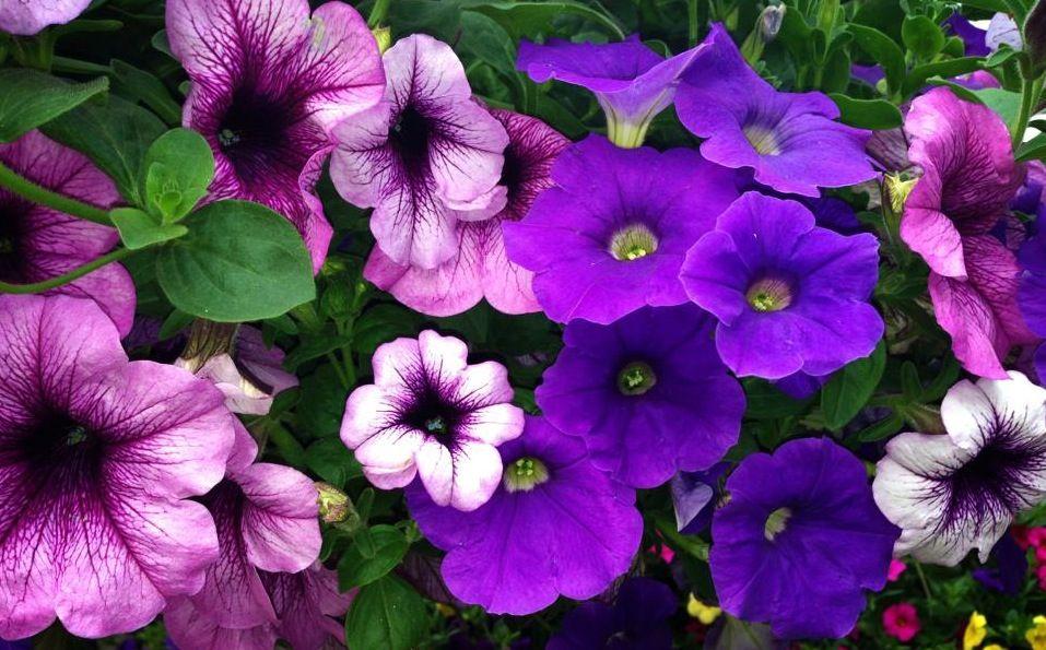 purple petunias from MI Purple petunias, Purple, Petunias