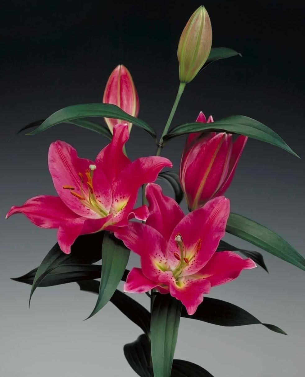 Names Of Lilies With Pictures: Name: Barbaresco #bot #flowerbulbs #lilium #flower #bulbs