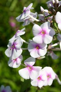 Phlox Maculata-Hybr.'Omega'