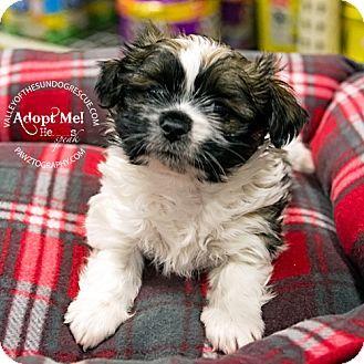 Mesa Az Shih Tzu Dachshund Mix Meet Boomer A Puppy For