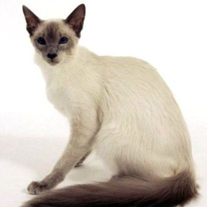 Javanese Cat Balinese Cat Tabby Cat Tabby Cat Pictures