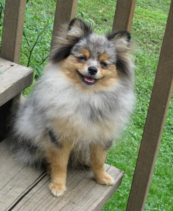 pomeranian and chow mix Google Search Cute animals