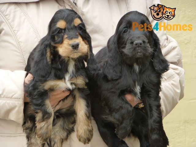 Cocker Spaniel puppies | Lincoln, Lincolnshire | Pets4Homes