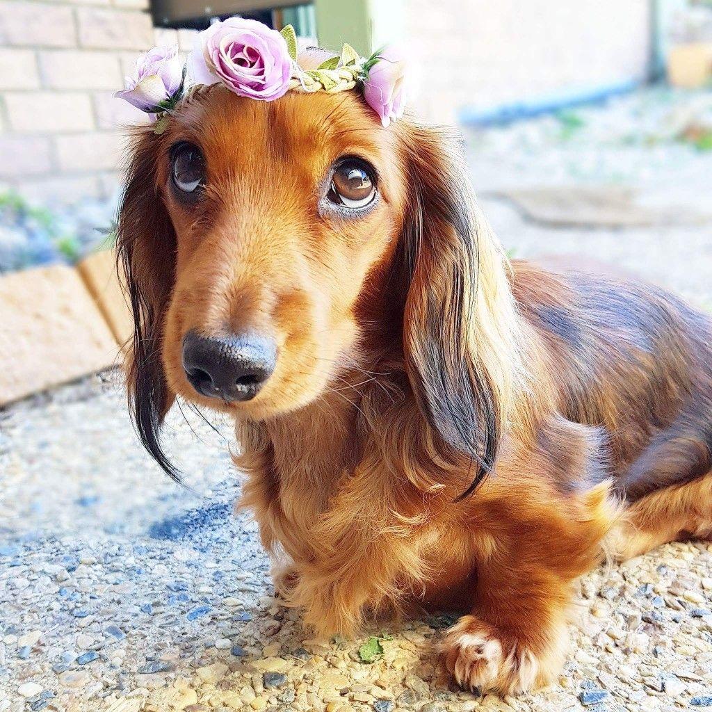 Doxies Dachshund Dog Dachshund Dogs