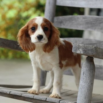 Cavalier King Charles Spaniel Puppy For Sale In Gap Pa Adn 50567 On P King Charles Cavalier Spaniel Puppy Cavalier King Charles Cavalier King Charles Spaniel