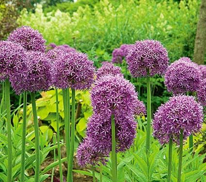 Allium Globemaster White Flower Farm Big Blooms Flowers