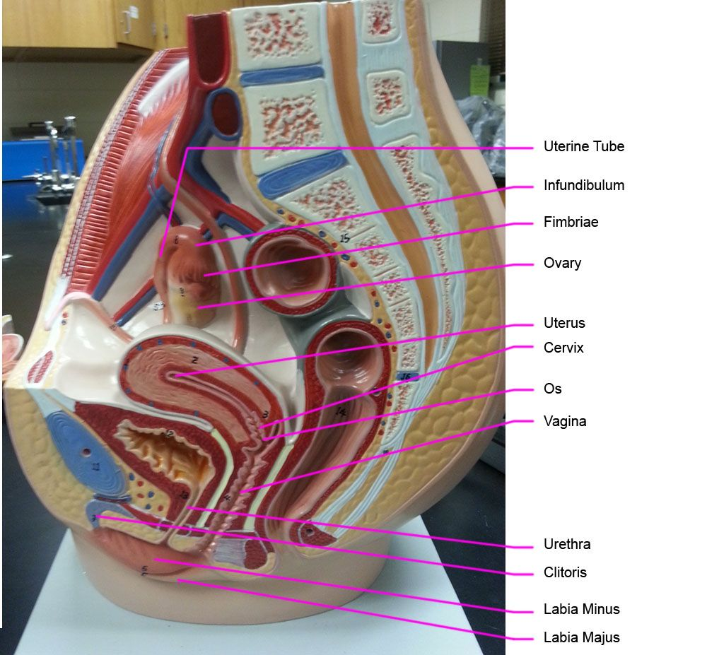 female anatomy models labeled Review for laboratory | 3 Human ...