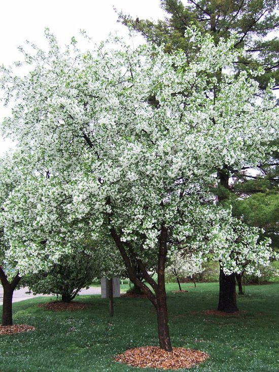 13 Of The Most Colorful Crabapple Trees For Your Yard Crabapple Tree White Flowering Trees Flowering Crabapple Tree