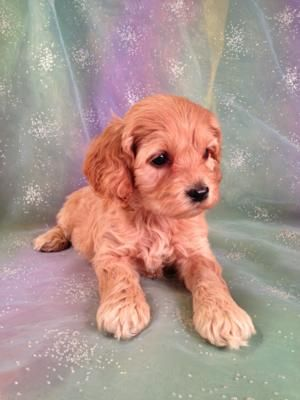 Cockapoo Breeders In Massachusetts And Maryland Are Finding It