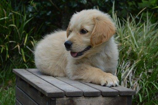 Golden Retriever Puppy For Sale In Live Oak Fl Adn 29378 On