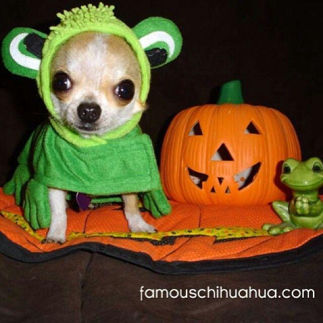Chihuahua Halloween costume | pet stuff:) | Pinterest ...