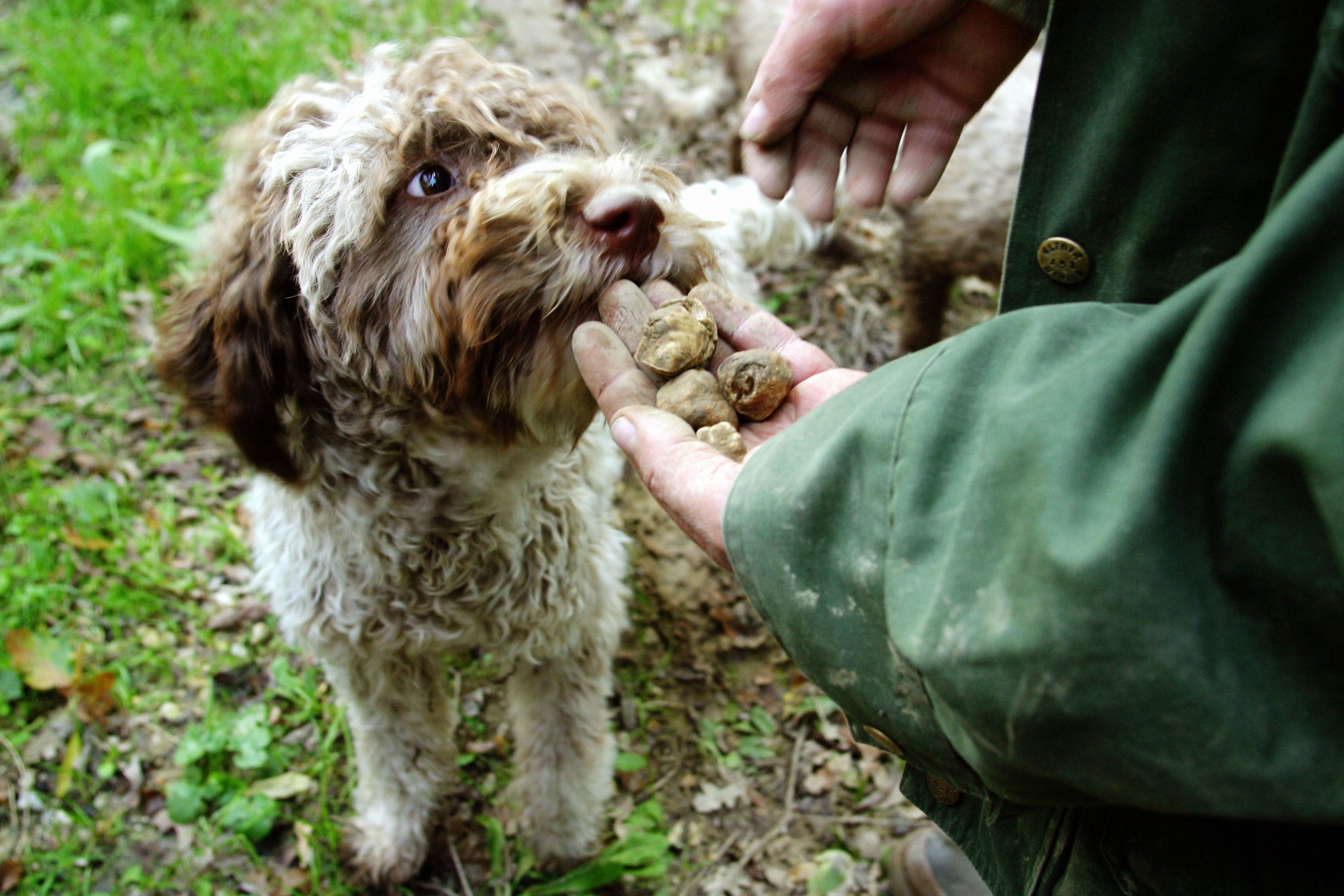 16 Of The Most Adorable Truffle Hunting Dogs Truffle Hunting