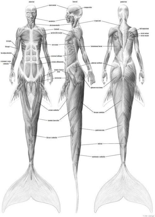 a gorgeous dissection of mermaid anatomy structures drawings