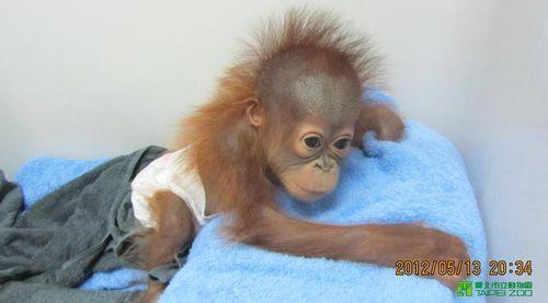 Baby Orangutan Thriving at Taipei Zoo at One Year Old O baby