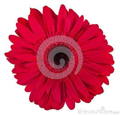 Choisissez La Fleur Rose De Gerbera D Isolement Sur Le Fond Blanc