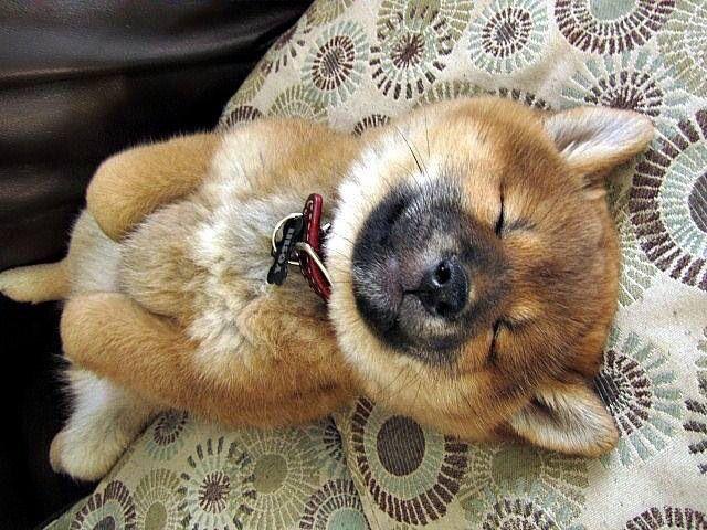 Sleeping Shiba Inu Puppy Cute Animals Cute Dogs Cute Puppies