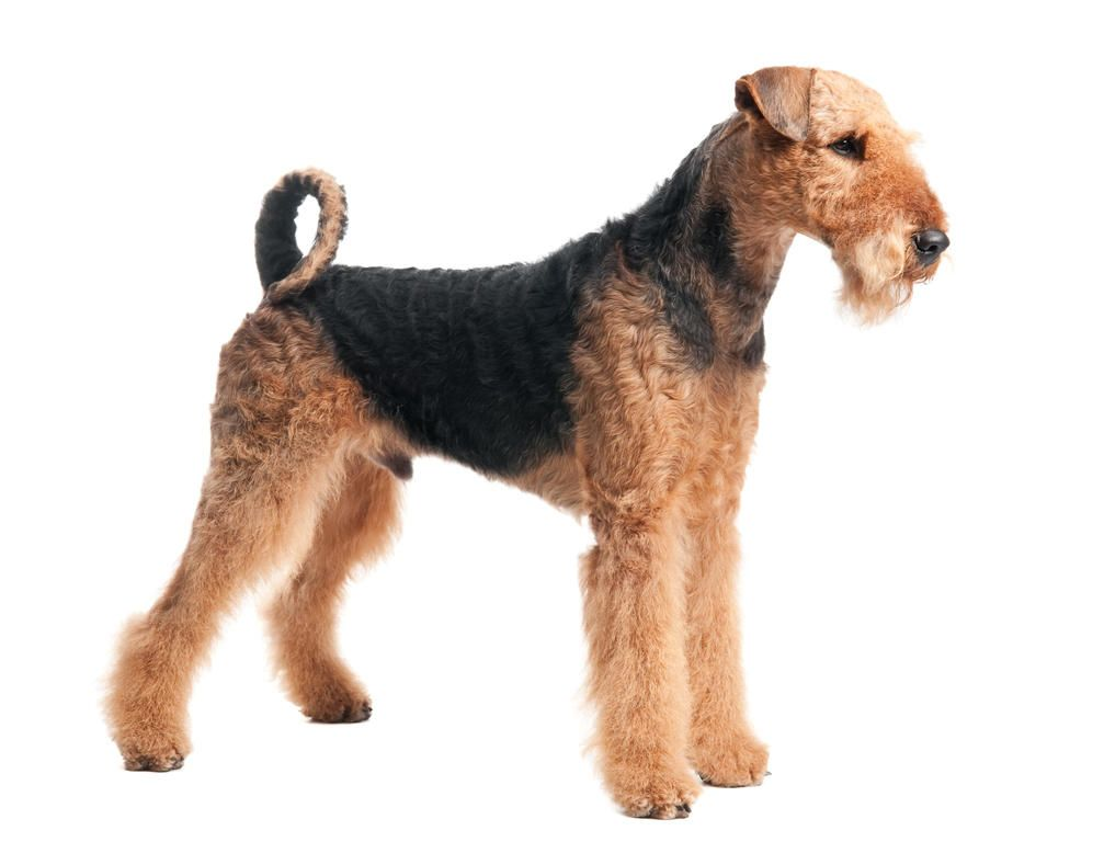 Top 30 Dogs That Don T Shed Small Medium And Large Breeds Dog Breeds Medium Dog Breeds Airedale Terrier
