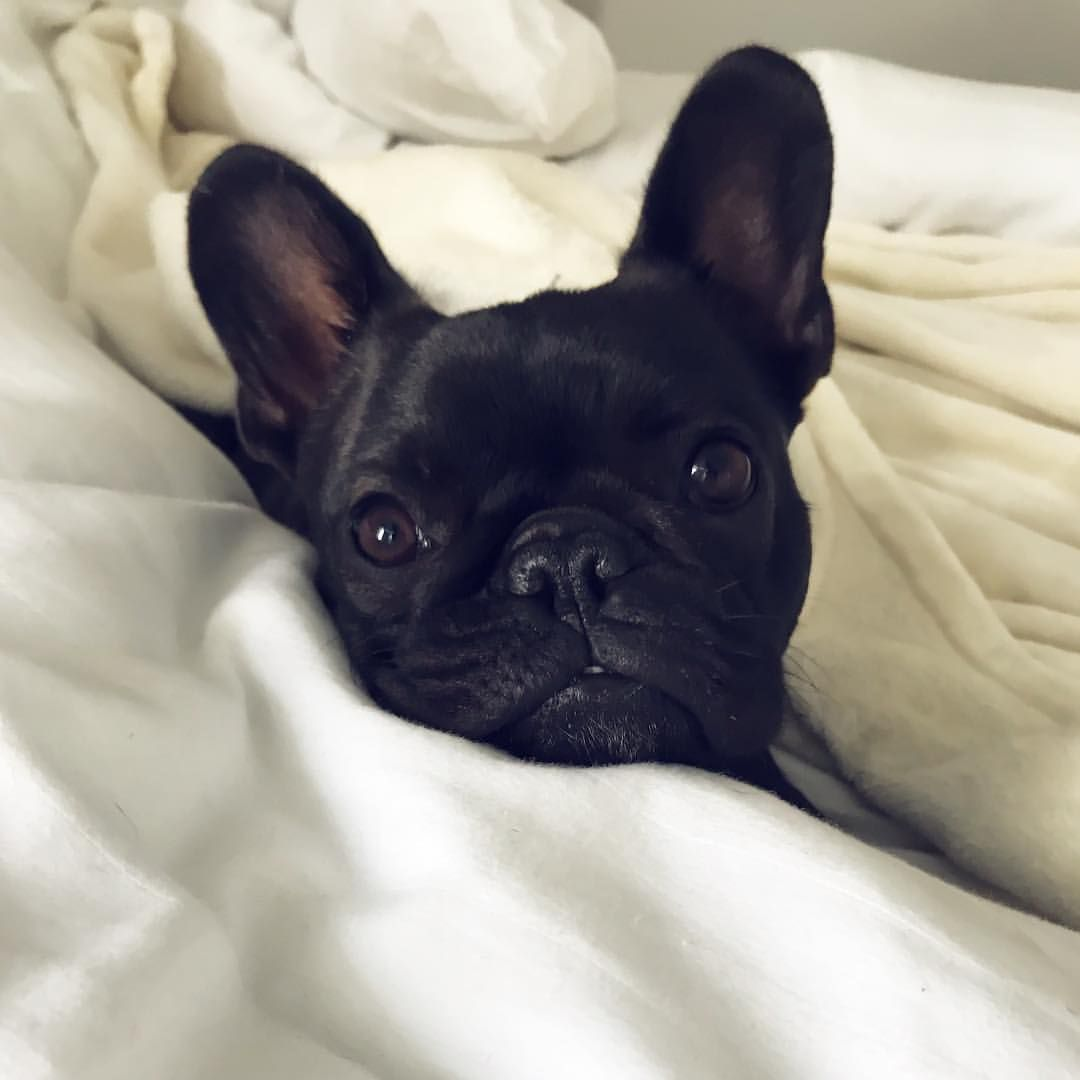 Bed Time For A French Bulldog Puppy Buldog Bulldog Puppies