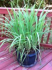 Ship Free Rooted Lemongrass Live Plants X4 Perennial Herb Container Suitable Citronella Plant Lemongrass Plant
