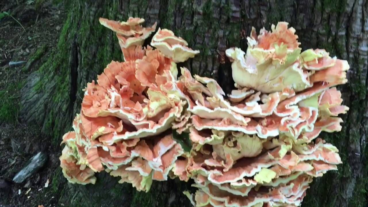 Identify, harvest, and cook chicken of the woods ...